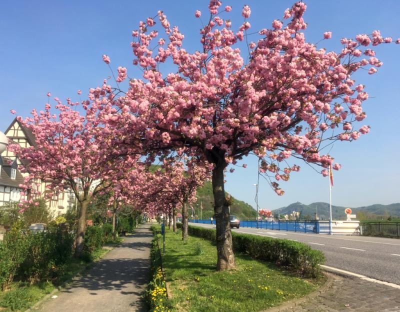 Kirschblüte in Oberwinter am Rhein